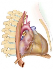 Left Lateral Heart
