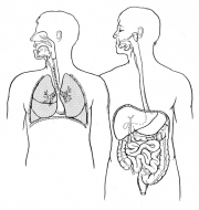 Digestive & Respiratory Systems