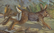 Cottontail genus Sylvilagus