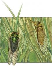 Grasscicada courtship