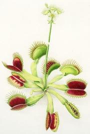 Dionaea Muscipula Venus Flytrap