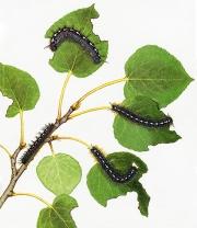 Forest Tent Caterpillars
